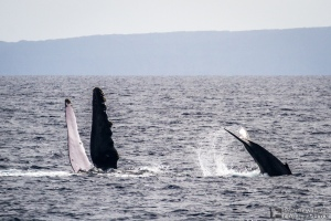 Momma & Baby Humpback Whale- Photo Credit Pacific Whale Foundation